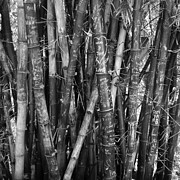 Black And White Photography Prints - Bamboo  Print by R L Nielsen