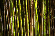 Jungle Beauty Art - Bamboo by Ricky Barnard