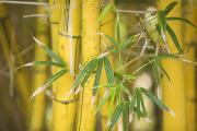 Thin Posters - Bamboo Stalks Poster by Ron Dahlquist - Printscapes