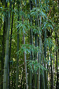 Barn Pen And Ink Photo Posters - Bamboo Tree Poster by Athena Mckinzie