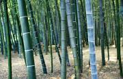 Featured Art - Bamboo Tree Forest, Close Up by Axiom Photographic