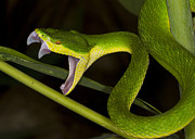 Y120817 Art - Bamboo Viper, White Lip Tree Viper by Kevin K. Caldwell