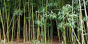 Wind Chimes Prints - Bamboo Wind Chimes  Waimoku Falls trail  Hana  Maui Hawaii Print by Michael Bessler
