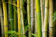 Bamboo Zen Print by Paul Bartoszek