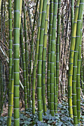 Molly Heng Metal Prints - Bamboos Metal Print by Molly Heng