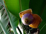 Banana Tree Posters - Banana Bloom Poster by Mindy Newman