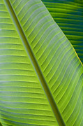 Banana Digital Art Originals - Banana leaf by Joe Carini