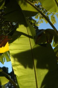 Banana Tree Photos - Banana Leaf by Kathi Shotwell