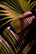 Banana Art Photo Posters - Banana Leaf Poster by Susanne Van Hulst
