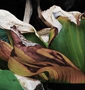 Banana Leaf Print by Todd Sherlock
