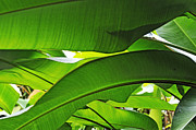 Banana Tree Photos - Banana leaves by Sami Sarkis