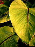 Banana Art Prints - Banana Leaves Print by Shandel  Gauthier