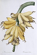 Redoute Paintings - Banana by Pierre Joseph Redoute