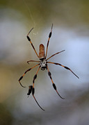 Arachnids Posters - Banana Spider with Prey Poster by Carol Groenen