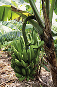 Banana Tree Posters - Banana Tree Poster by David Nunuk
