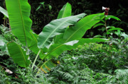 Sami Sarkis Art - Banana tree leaves in tropical garden by Sami Sarkis