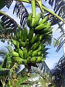 Banana Tree Photos - Banana Tree by Toni  Thorne