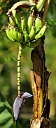 Ajay Bundiwal - Banana Tree with Fruit