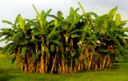 Banana Art Digital Art Prints - Banana trees Print by David Lee Thompson