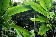 Banana Tree Photos - Banana trees in jungle by Sami Sarkis