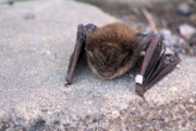 Pendleton County Photos - Banded Bat by Carolyn Postelwait