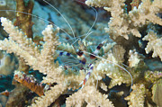 Malacostraca Prints - Banded Coral Shrimp Amongst Staghorn Print by Steve Jones