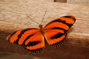 Bannister Digital Art Posters - Banded Orange Butterfly on Handrail Poster by Eva Kaufman