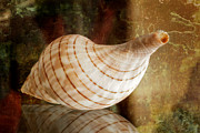 Banded Tulip Seashell Print by Bonnie Barry