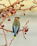 Cedar Waxwing Posters - Bandit Poster by Betty LaRue