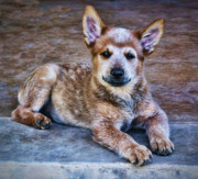 Cattle Dog Prints - Bandit  Print by Saija  Lehtonen
