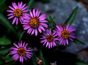 Blue Flowers Posters - Banff - Alpine Aster Poster by Terry Elniski