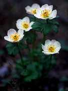 Blue Flowers Photos - Banff - American Globeflower by Terry Elniski