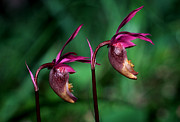 Blue Flowers Photos - Banff - Calypso Orchid by Terry Elniski