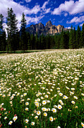 Wildfowers Framed Prints - Banff - Castle Mountain Daisies Framed Print by Terry Elniski