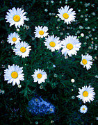 Blue Flowers Photos - Banff - Oxeye Daisy by Terry Elniski