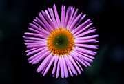Blue Flowers Photos - Banff - Showy Fleabane by Terry Elniski