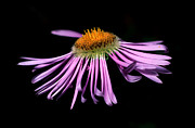 Blue Flowers Photos - Banff - Streamside Fleabane by Terry Elniski