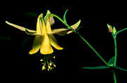 Wild Red Columbine Art - Banff - Yellow Columbine by Terry Elniski