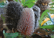 Proteaceae Posters - Banksia group Poster by Fran Woods