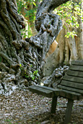 Tree Roots Photos - Banyan Tree and Park Bench by Dennis Clark
