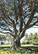 Anna Villarreal Garbis Photo Metal Prints - Banyan Tree Metal Print by Anna Villarreal Garbis
