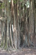 Rooted Framed Prints - Banyan Tree Framed Print by Carol Groenen