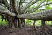 Awesome Prints - Banyan Tree Print by Jenna Szerlag