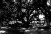 Lahaina Prints - Banyan Tree Print by Laurie Comfort