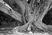 Tree Roots Digital Art Prints - Banyan Tree Print by Rob Hans
