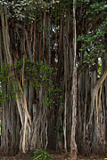 Roger Mullenhour - Banyan Tree