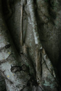 Tree Roots Photos - Banyan Tree Roots by Cindi Ressler