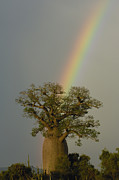 Madagascar National Park Prints - Baobab Adansonia Sp And Rainbow Print by Pete Oxford