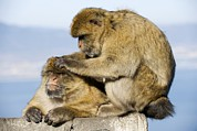 Animal Behavior Art - Barbary Macaques by Tony Camacho