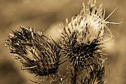 Thistles Photos - Barbed Beauties by Wenata Babkowski
